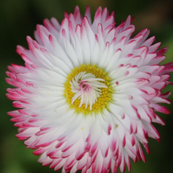 Buy bellis flowers for cocktails