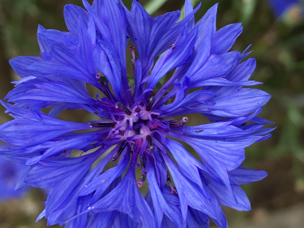 Buy edible cornflowers from Maddocks Farm Organics