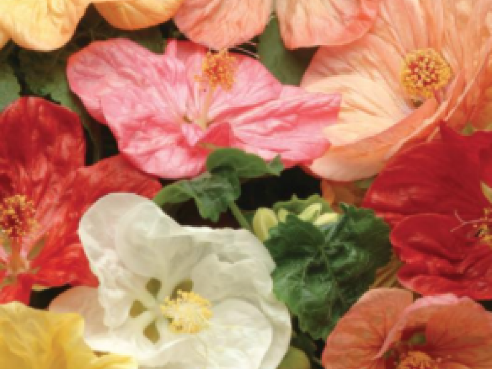 Buy abutilon flowers from Maddocks Farm Organics