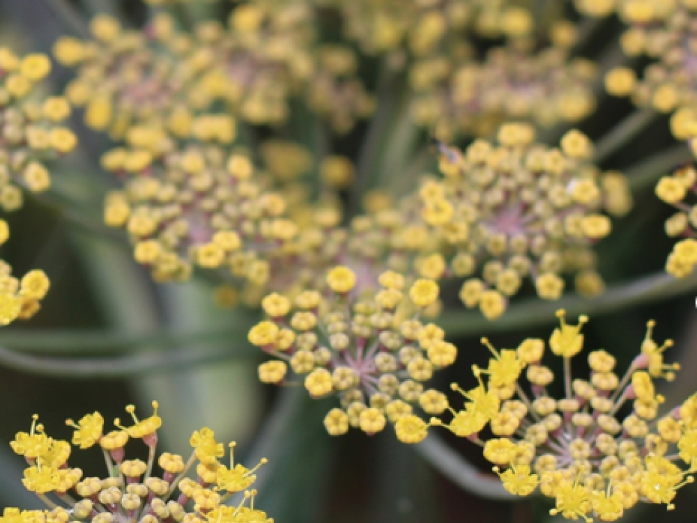 Buy fennel flowers