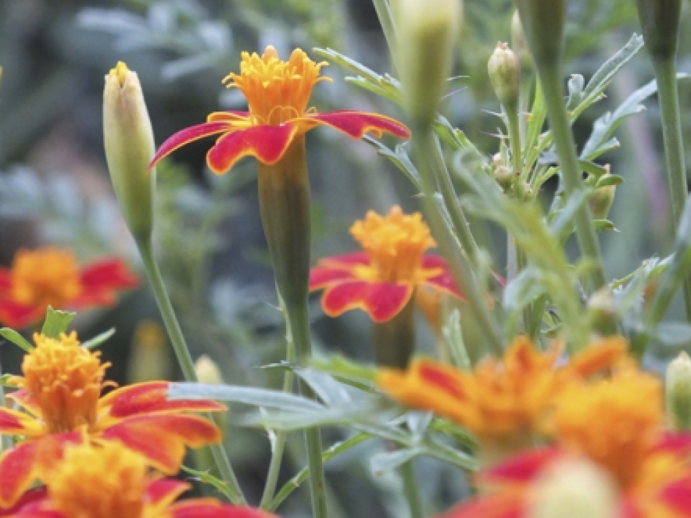 Buy tagetes flowers