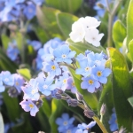 Buy Forget Me Not Flowers