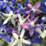 Buy borage flowers