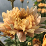Edible chrysanthemum from Maddocks Farm Organics