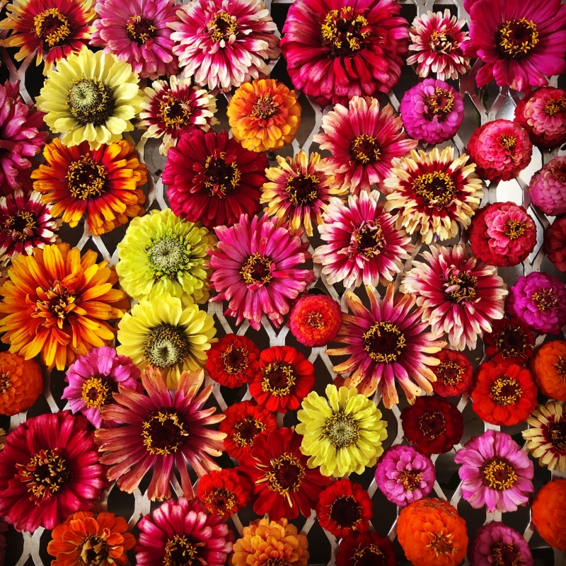 Buy organic zinnias from Maddocks Farm Organics