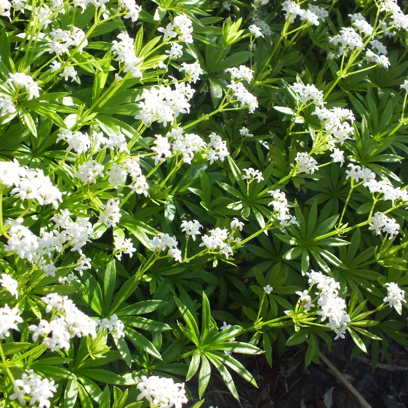 Buy Sweet Woodruff from Maddocks Farm Organics