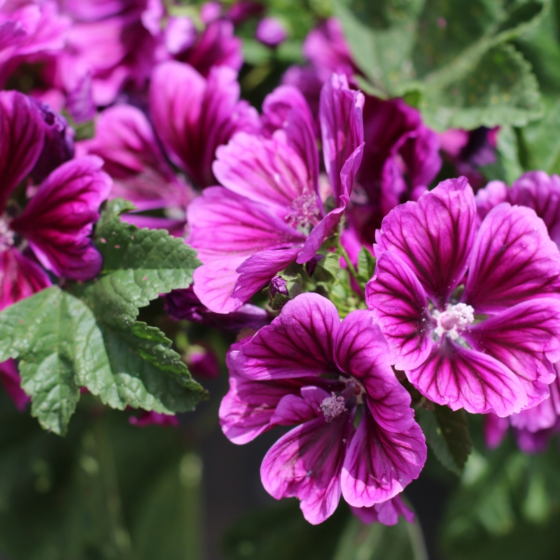 Buy edible mallow flowers