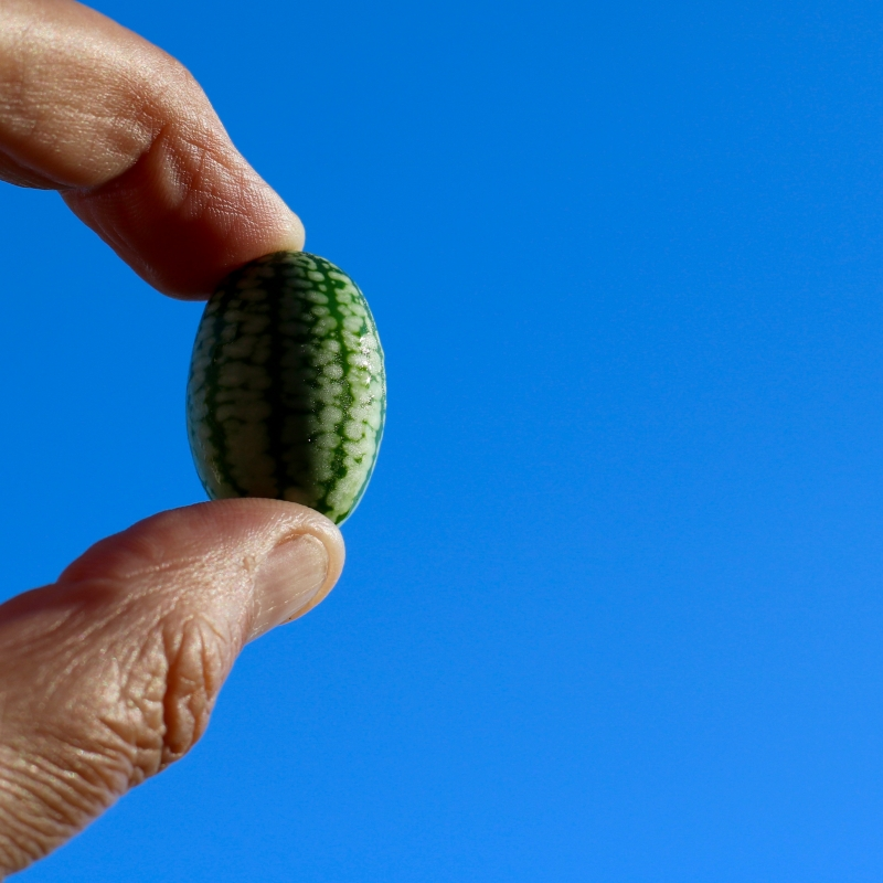 Buy cucamelons from maddocks farm organics