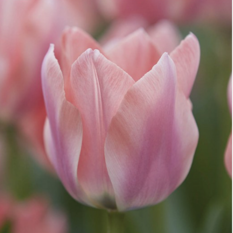 Buy edible tulips from Maddocks Farm Organics
