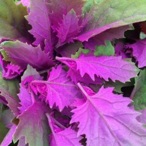 Buy edible leaves from Maddocks Farm Organics.