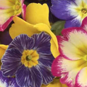 February Edible Flowers